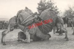 07.01.1962 yılında Deve Güreşi
